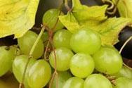 白葡萄酒陈年环境