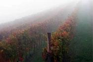 为什么内比奥罗又叫雾葡萄?