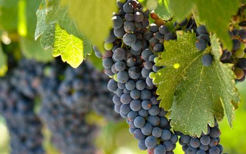 一瓶葡萄酒里有多少葡萄?