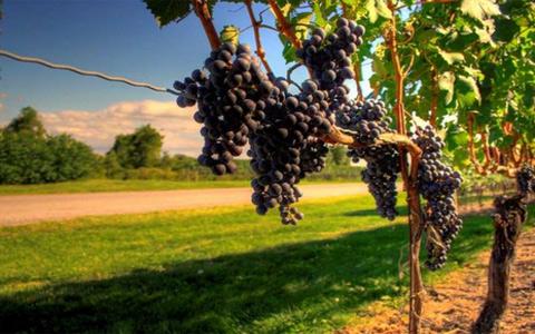 葡萄树生命的轮回
