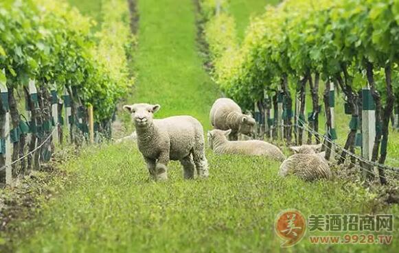 矮脚羊(babydoll  sheep),也叫迷你羊,它们软绵,呆萌,长了一张泰迪