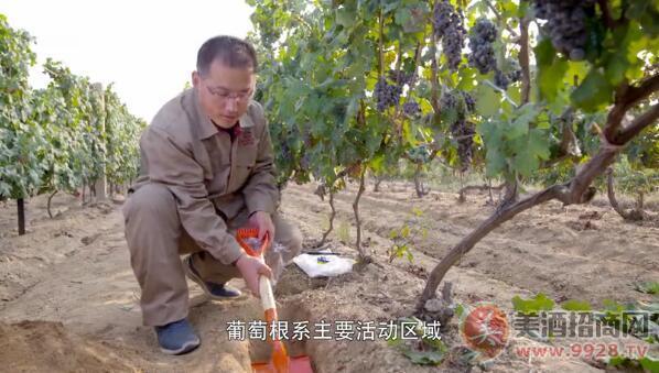 海归博士后,却爱上了在葡萄园挖土