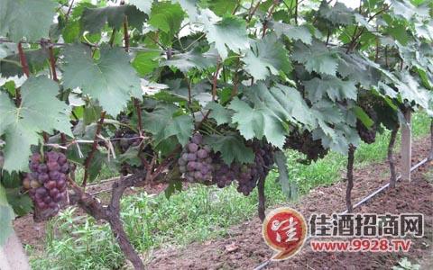 实用的葡萄酒的酿制过程