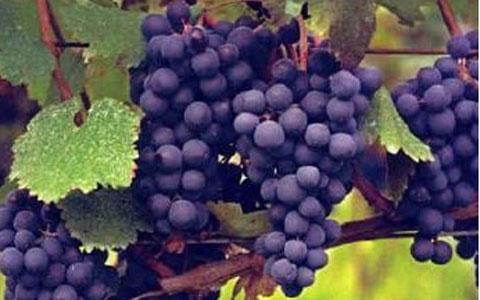 葡萄品种 晚红蜜