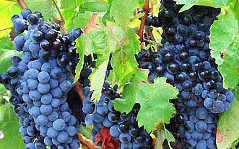 西拉子葡萄品种介绍