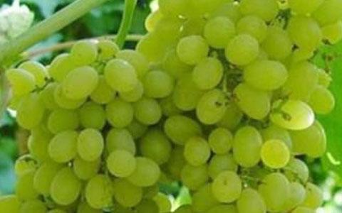长相思葡萄品种介绍