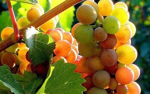 灰皮诺葡萄品种介绍