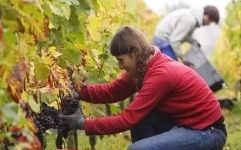 法国葡萄采收 应该了解的小知识