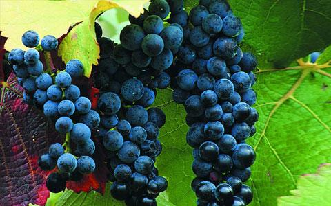 马尔贝克葡萄品种介绍