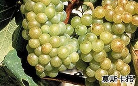 莫斯卡托葡萄品种介绍