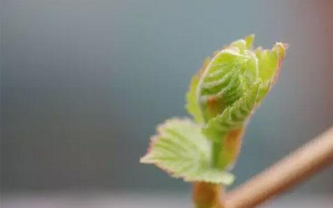 葡萄树的生长周期