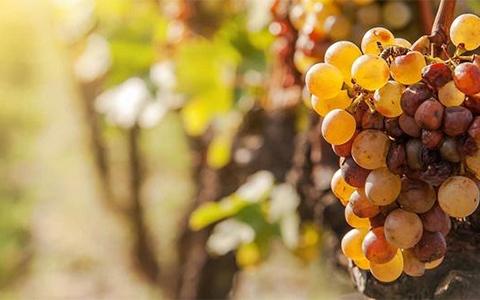 贵腐酒采用葡萄的品种有哪些?
