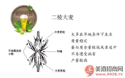 酿酒原料:2棱大麦和6棱大麦