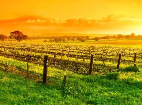 澳大利亚巴罗萨谷:将西拉葡萄酒做到世界之*