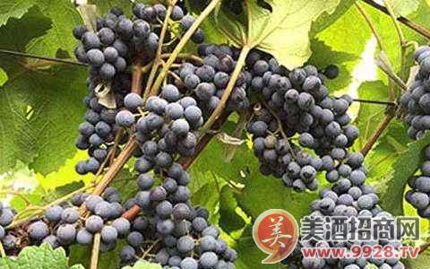 全国首家葡萄及葡萄酒检测重点实验室将在宁夏建设