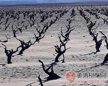 南非葡萄大旱
