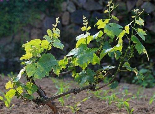 科学家找到葡萄树在太干旱的条件下枯萎的原因