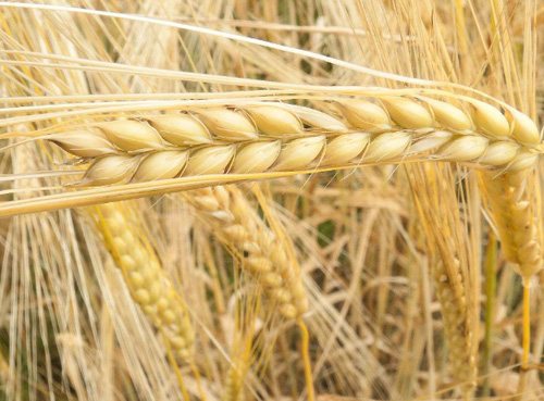 法国农业部上调2018年冬季大麦播种面积预估
