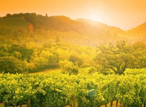 纳帕谷开始了2018年份的葡萄采收工作