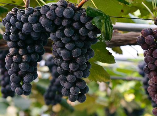 2018年勃艮第葡萄丰收,勃艮第的大桶散装酒价格下跌
