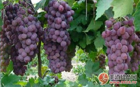 2018年意大利葡萄产量恢复 ,葡萄酒库存剧减23%