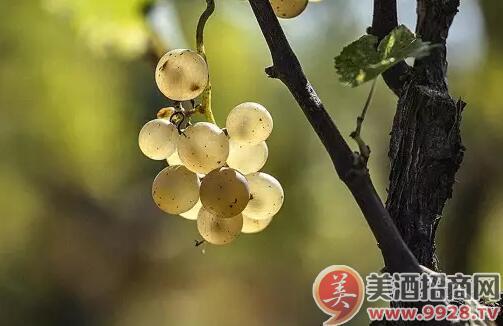 优质干白葡萄酒已经比很多经过橡木桶陈年的酒款,比如勃艮第白一类,更