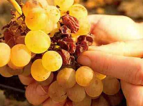 欧亚庄园新品,法国进口贵腐甜白葡萄酒上市啦!