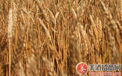 端午踩曲 ,为什么说小麦和稻草的选择是大事?