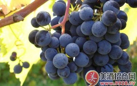 意大利阿布鲁佐产区佳酿,梦洛斯蒙特布查诺红葡萄酒