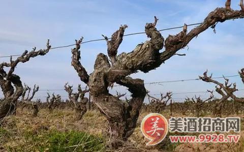 老藤葡萄酒有什么特别之处呢?