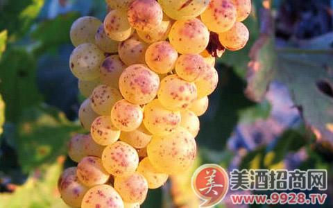 葡萄品种之克莱雷