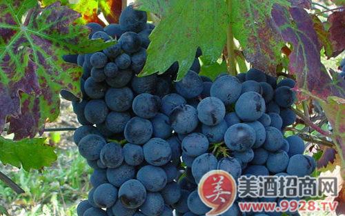 葡萄品种之科蒂丝