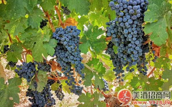 乡都典藏干红葡萄酒:一支有生命的葡萄酒