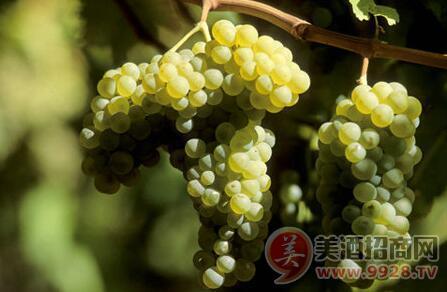 西班牙葡萄品种之爱人