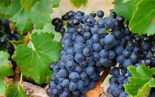 罗讷河谷的葡萄品种