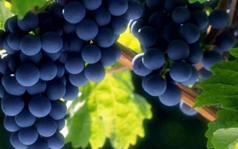 新疆拟打造300亿葡萄酒+产业