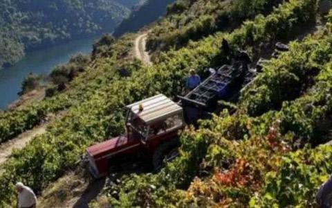 西班牙葡萄之红葡萄品种