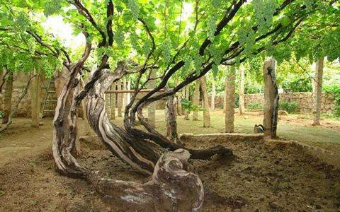 葡萄树的种植温度是多少度?