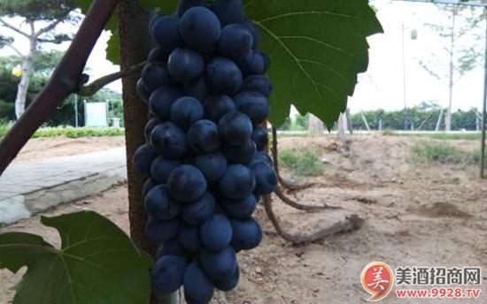 勃艮第有哪些葡萄品种?