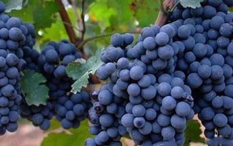 入门葡萄酒知识:赤霞珠和解百纳有何区别?