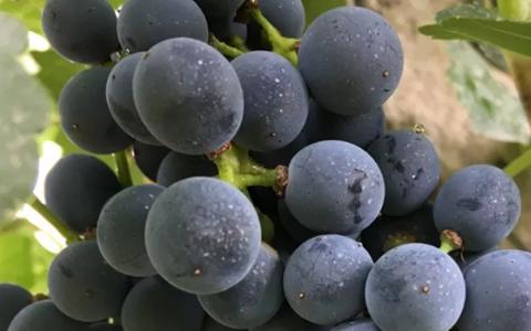 葡萄酒的酒精度为何有高有低?