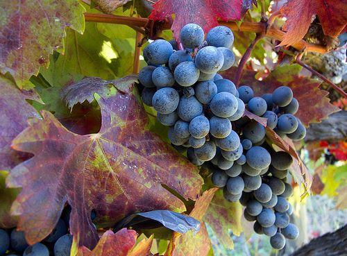 智利提早�Y束2020年葡萄采收季