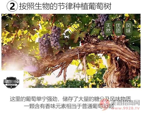 人工采收葡萄