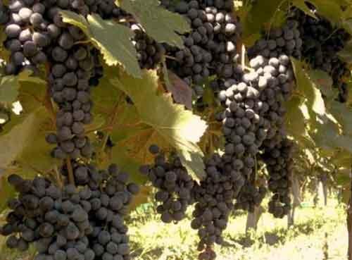 格鲁吉亚拉恰地区迎来葡萄丰收季