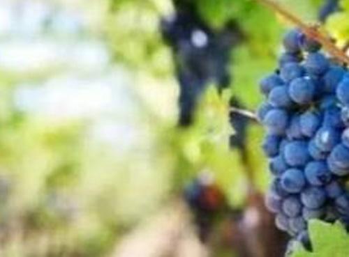 新葡萄品种允许在波尔多使用