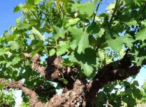 科�W家�l�F�酒葡萄具有特性,可以����夂蜃�化